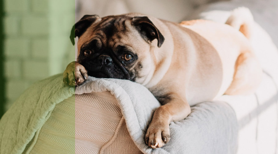 enfermedad del gusano del corazon en perros